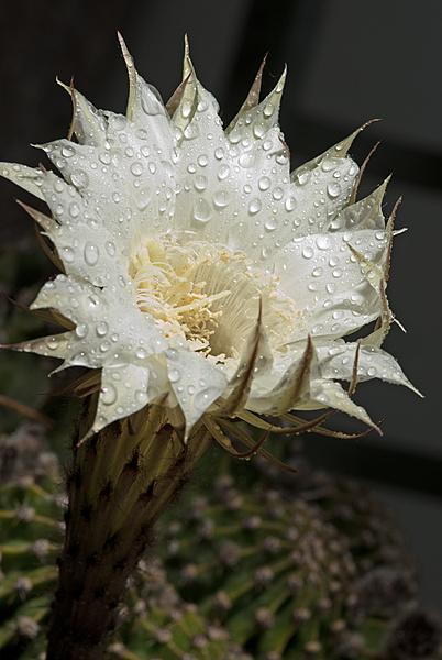 Flowers-cactus-2-resized.jpg