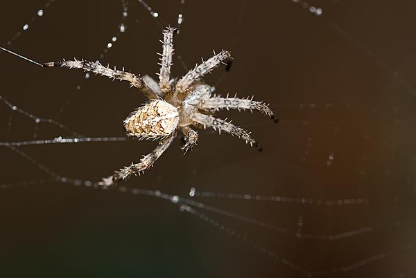 Catturare una Stella-il-ragno.jpg