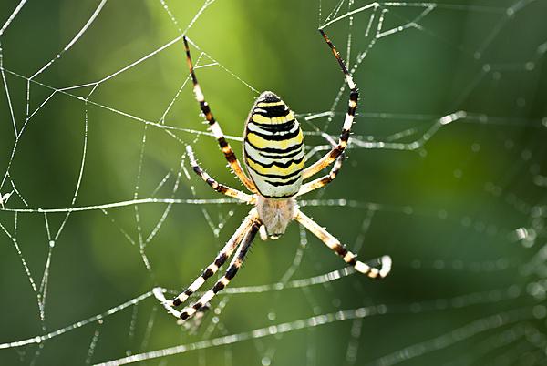 Catturare una Stella-ragno-tigre_7.jpg