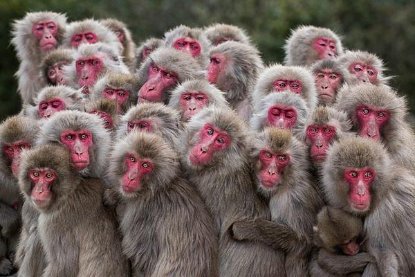 Clicca sull'immagine per ingrandirla  Nome:   Macaque monkeys.jpg Visite: 71 Dimensione:   343.8 KB ID: 47983